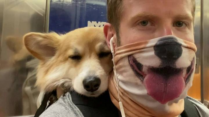 Adorable Corgi Rides In Her Owner's Backpack Wherever He Goes