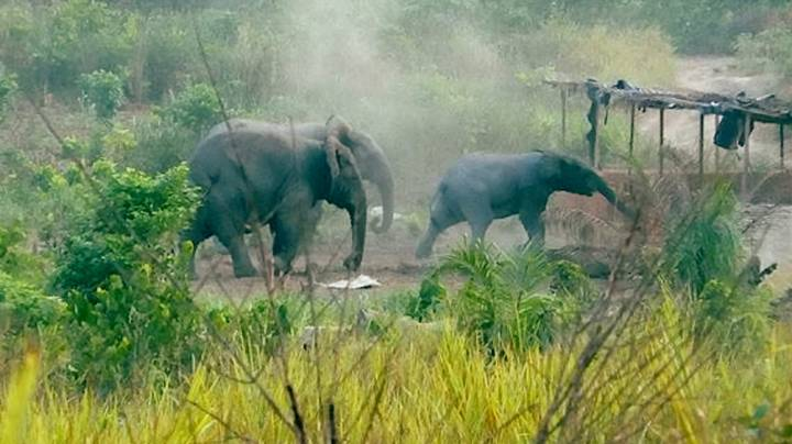 Elephants Are In Danger Of Extinction Following 'Widespread And Catastrophic Decline