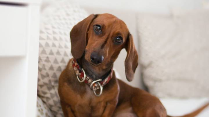 Man Gets His 18 Sausage Dogs To Line Up For Easter Photo