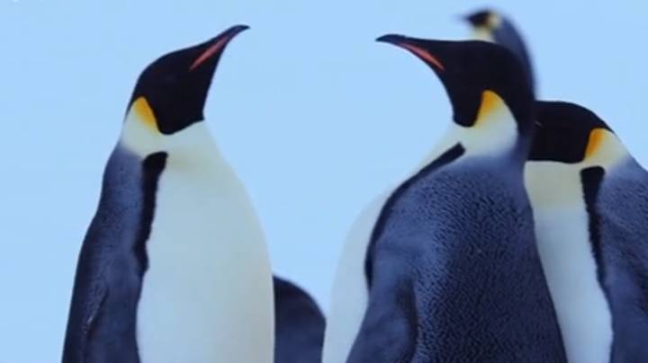 Jealous Penguin Had David Attenborough's Dynasties Viewers In Stitches Last Night
