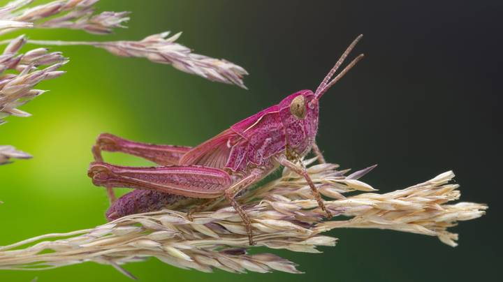 A Rare Pink Grasshopper Has Been Spotted In The UK