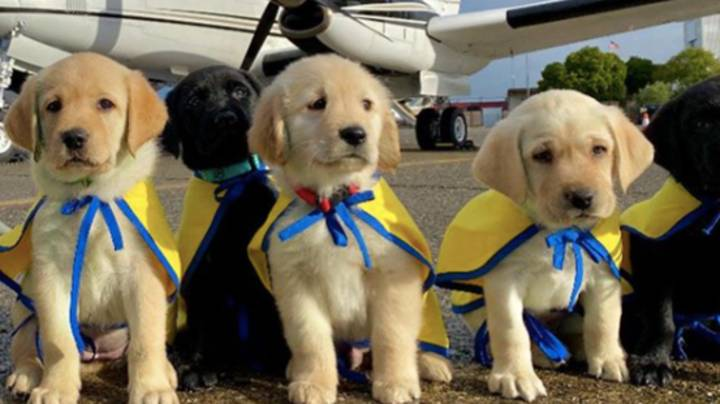 Service Dog Puppies Are Being Flown By Private Jets To Start Their Training