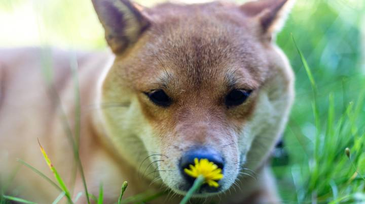 Dogs Could Be Quietly Struggling With Hay Fever Just Like Humans