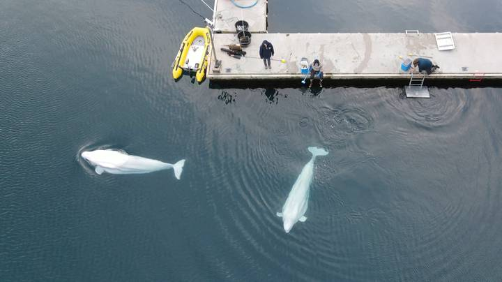Two Beluga Whales Saved From Chinese Aquarium Have First Swim In New Sanctuary Home