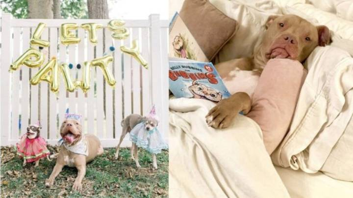 Pampered Pitbull Gets His Own Birthday Party And It's The Least He Deserves