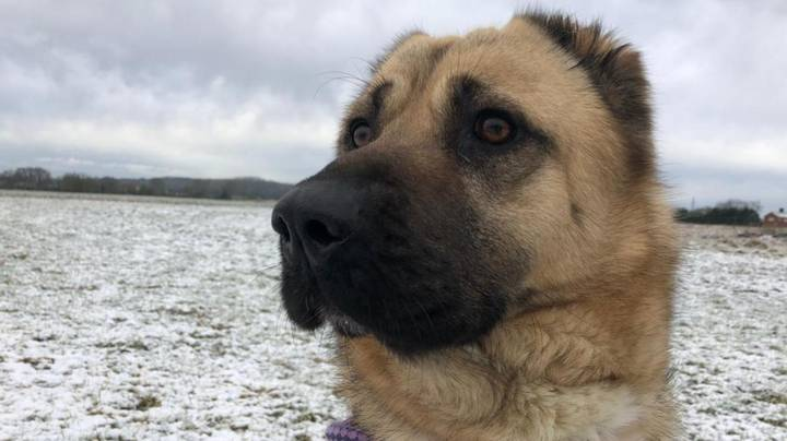 RSPCA Warn Of Massive Increase In Ear Cropping Among Dogs
