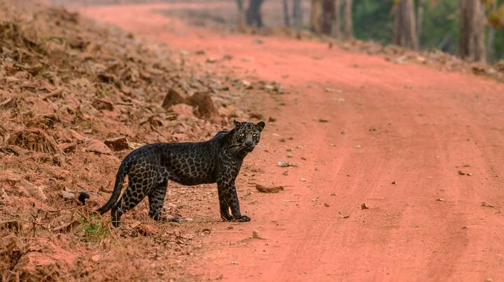 Stunning Black Leopard Caught On Camera In Rare Photos