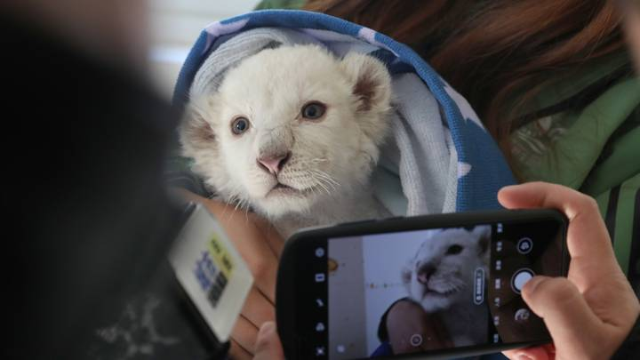 Rare White Lion Quadruplets Born At Chinese Zoo Will Meet The Public This Weekend
