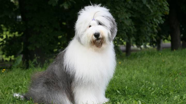 'Dulux' Old English Sheepdogs Now At Risk Of Extinction
