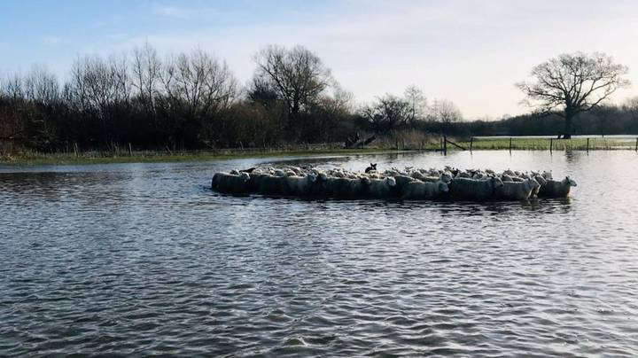 Hero Dogs Rescue Herd Of Sheep From Drowning