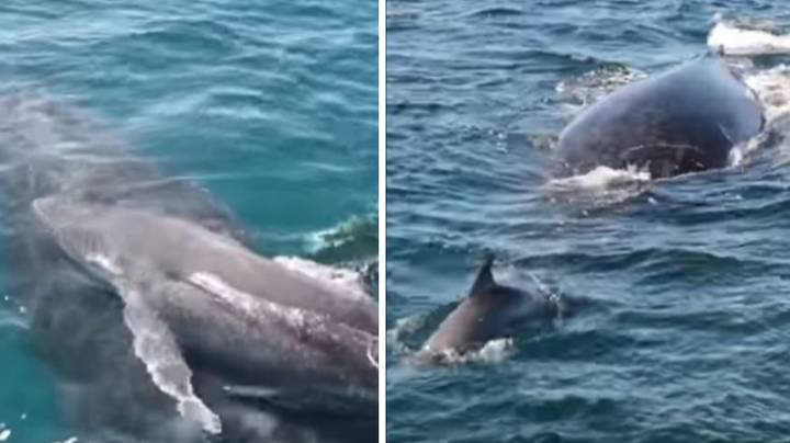 Pod Of Dolphins Save Humpback Whale And Calf From Male Whales