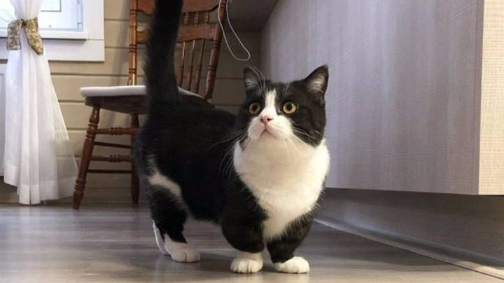 Cat With Incredibly Short Legs Becomes Instagram Star