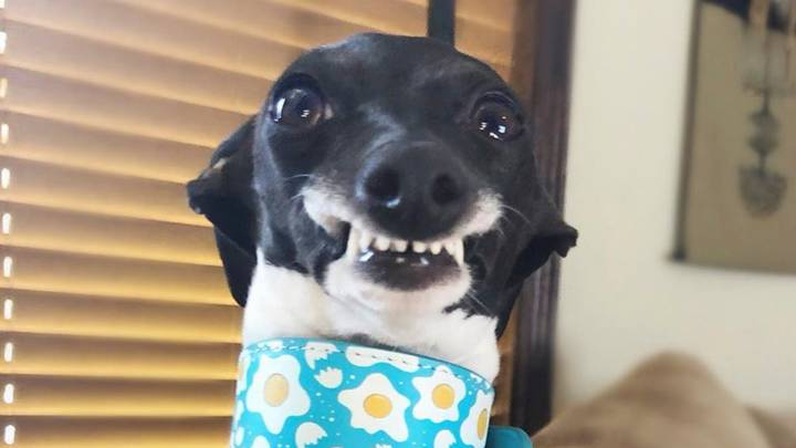 Adorable Greyhound With Goofy Teeth Literally Can't Stop Smiling