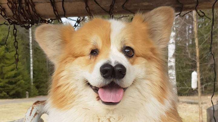 Corgi Born With One Eye And Two Noses Is Living Its Best Life Defying The Odds