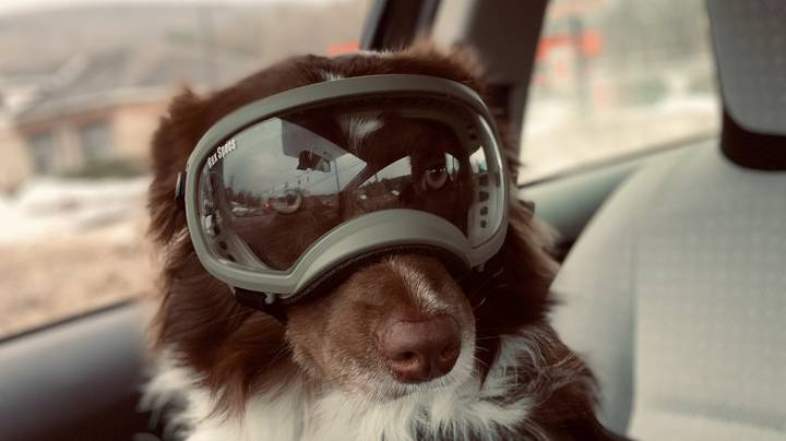 This Dog Has Special Goggles So She Can Play In The Snow