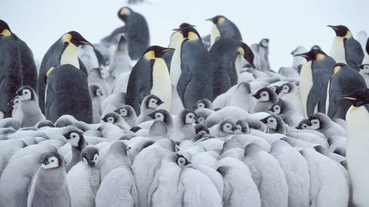 The Second Largest Emperor Penguin Colony In Antarctica Is Disappearing