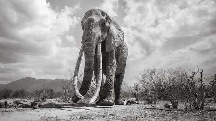 British Photographer Captures Last Images Of Kenya's 'Elephant Queen' Before Her Death