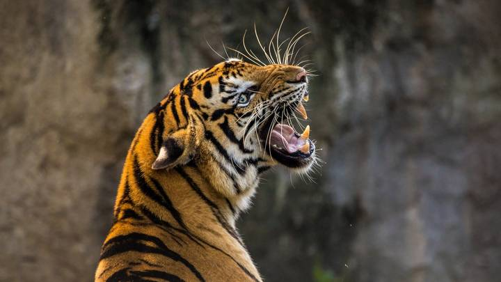 The Tiger Population In India Has Doubled Over The Last 12 Years