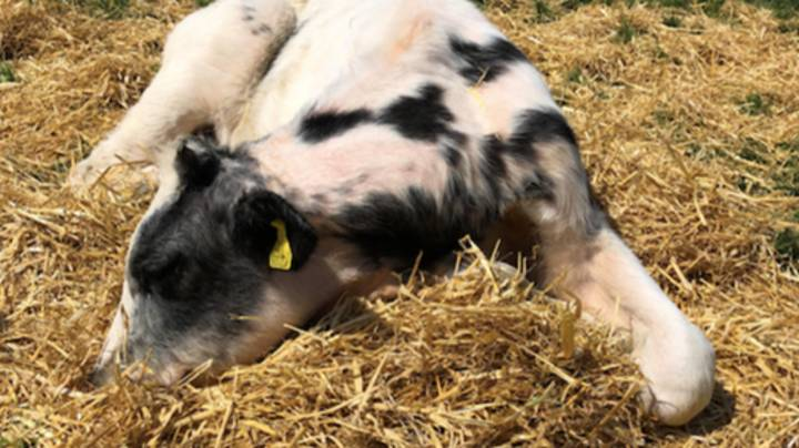 Baby Calf Dies After Eating Birthday Balloon That Fell In Her Field