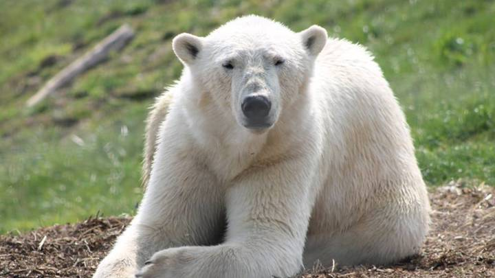 Yorkshire Wildlife Park Is Live Streaming Its Polar Bears Today