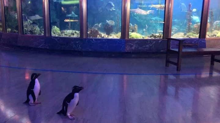Penguins Allowed To Roam Around Aquarium After It Closes Over Coronavirus