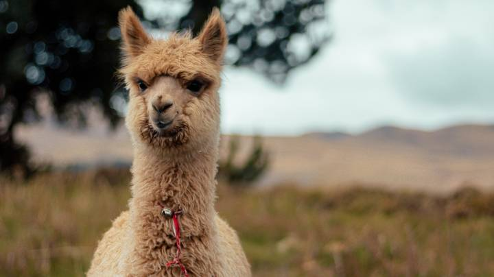 Care Home Uses 'Alpaca Therapy' For Residents With Dementia