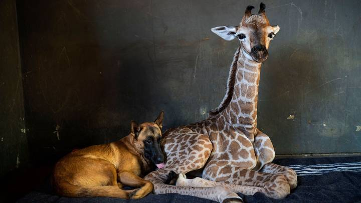 Abandoned Baby Giraffe Befriended By Dog Dies With New BF By His Side
