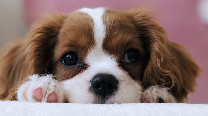 Hundreds Of Puppies Bought During Lockdown Are Now Being Disowned