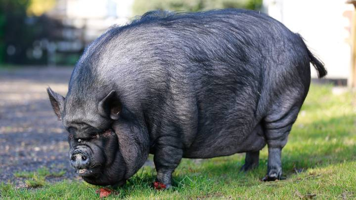 Firefighters Rescue 30 Stone Pig After Living Life Of Luxury of Chinese Takeaways And Chocolate