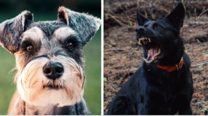Small Dogs Are The Most Aggressive, Study Shows