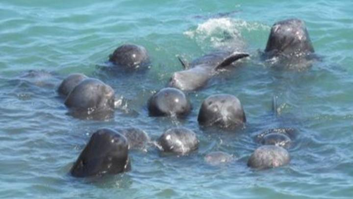 Dolphins Huddle Together As They Await Slaughter In Japan In Heartbreaking Footage