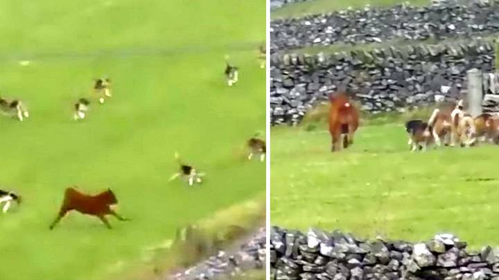 Terrified Calf Runs For Its Life To Escape Pack Of Out Of Control Hunting Hounds