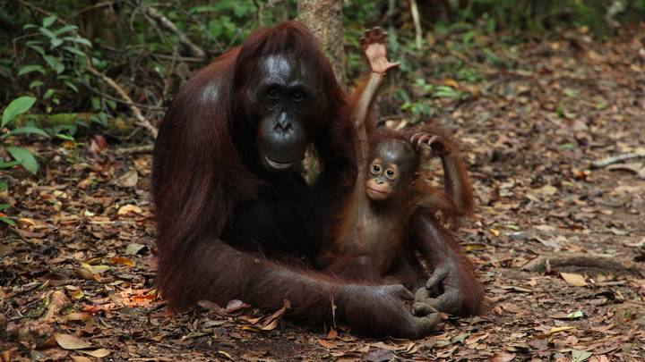 Orangutang Numbers Have Dropped By Up To 30 Per Cent in Palm Oil Estates
