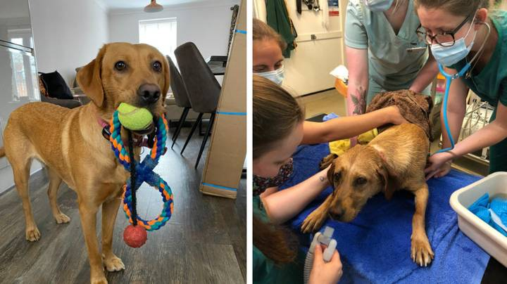 Dog Owner Issues Warning After Labrador Nearly Dies From Heat Stroke Despite Overcast Weather