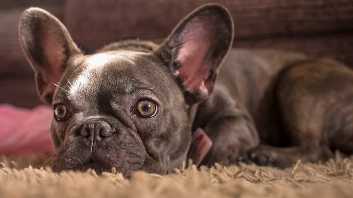French Bulldogs Are Officially The UK's Top Dog Breed