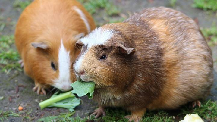 It's Illegal To Own One Guinea Pig In Switzerland Because They're Prone To Loneliness