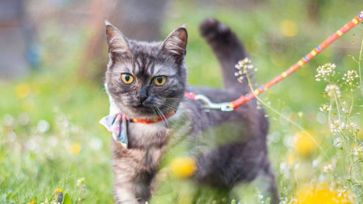 Cats Could Actually Enjoy Being Walked As Much As Dogs, Expert Claims