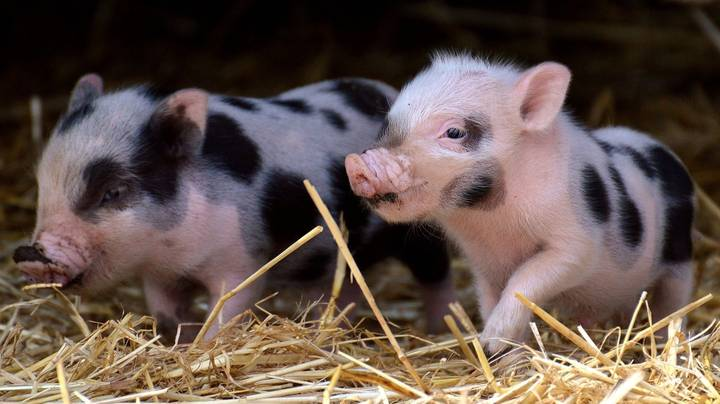 This Farm Wants You To Come And Cuddle Its Pigs For A Good Cause