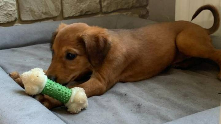 Family Issue Warning As  Puppy Bought On Gumtree With Fake Documents Dies After Two Weeks