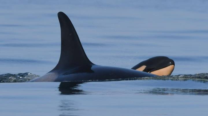 Grieving Orca Mother Who Carried Her Dead Calf For 17 Days Gives Birth To A New Baby