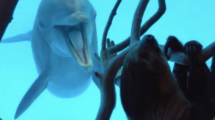 Dolphins Get Excited As Sloth Is Placed Outside Their Enclosure