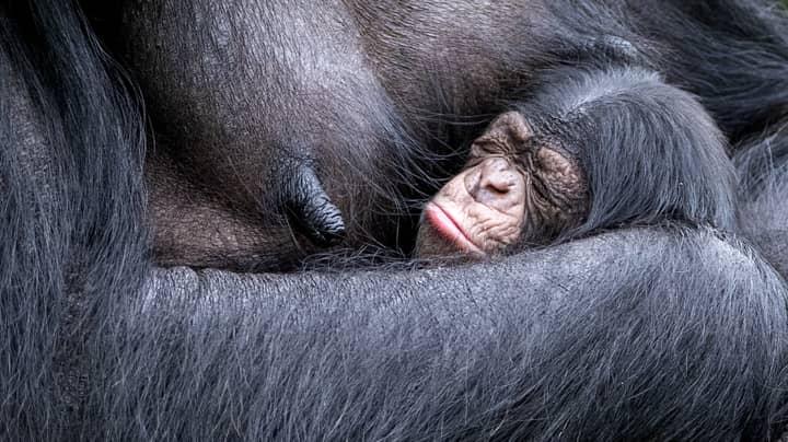 Critically Endangered Chimpanzee Gives Birth At UK Zoo