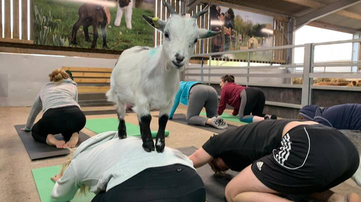 You Can Now Do Goat Yoga And It Looks So Much Fun