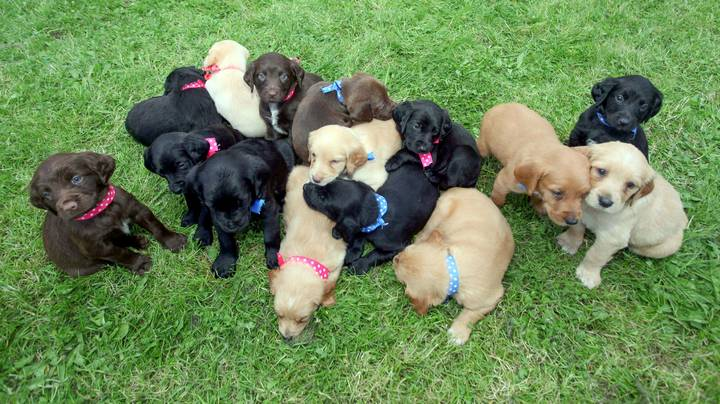 Dog Gives Birth To One Of The Largest Litters Ever Of 16 Puppies