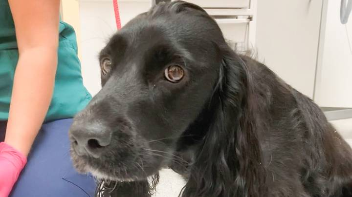 Dog Almost Dies After Swallowing A Face Mask Left In The Park
