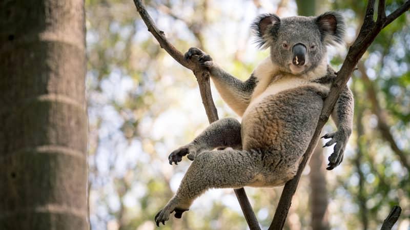 Koala Becomes Online Sensation Thanks To Sexy Laid Back Pose