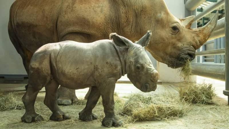 Rare White Rhino Born At Disney's Animal Kingdom In Florida