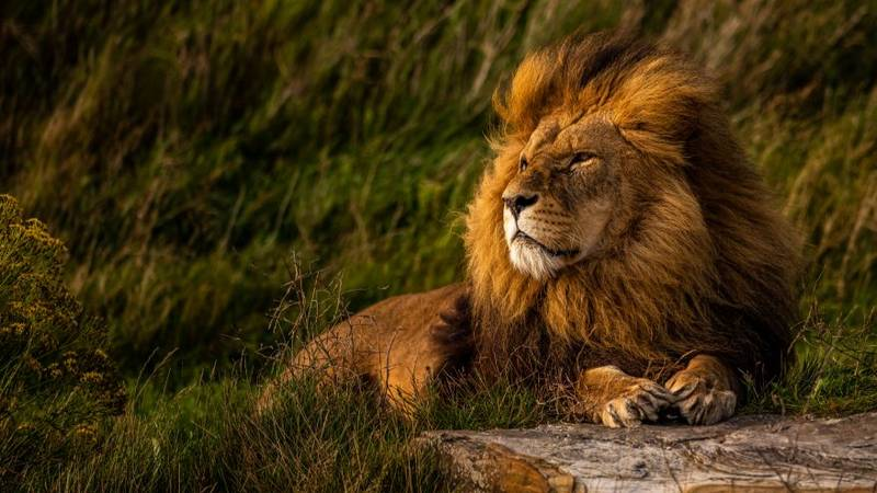 You Can Camp With Lions For £50 A Night At Yorkshire Wildlife Park