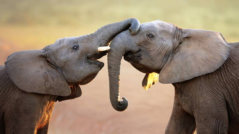 Elephants Can 'Catch' Yawns From Their Favourite Humans