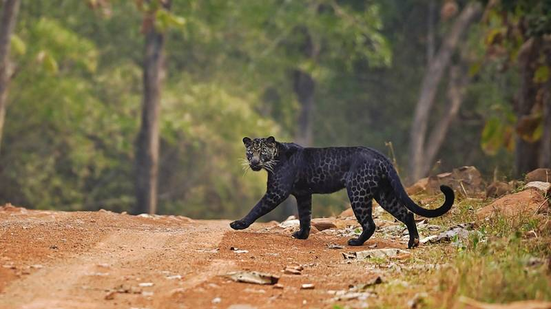 Wildlife Photographer Snaps Stunning Pics Of Extremely Rare Black Leopard